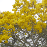 Poalima [Pō'alima] (ポーアリマ)