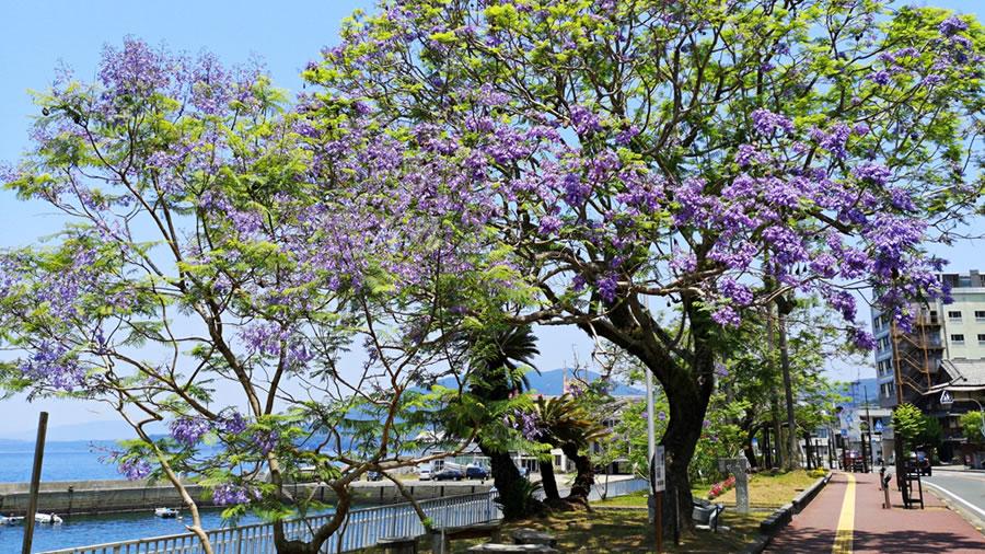 ジャカランタの花