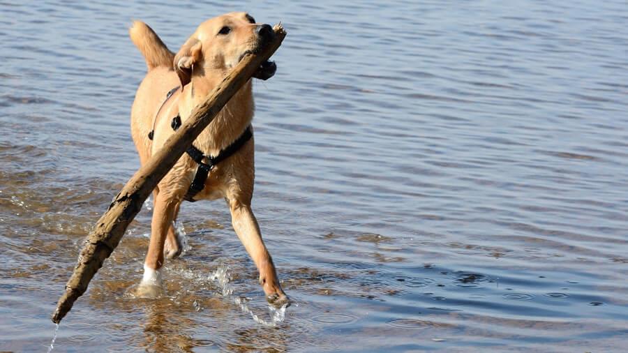 枝をくわえて運んでくる犬